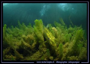 Pike Fish having a rest... :O)... by Michel Lonfat 